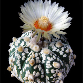 Astrophytum-asterias-cv