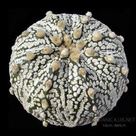 Astrophytum-asterias-kabuto