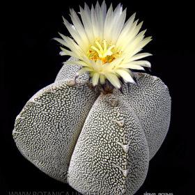 Astrophytum-myriostigma-onzuka