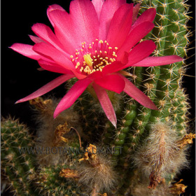 Chamaeolobivia cv