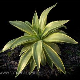 Agave-desmettiane-variegate